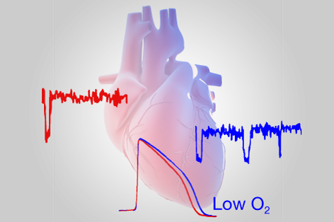 low oxygen levels in the heart predispose people to life-threatening cardiac arrhythmias