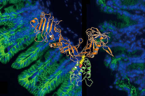 The 3D structure shows how a key Clostridium difficile toxin, TcdB (in orange), recognizes the human Frizzled protein (in green) as its receptor to invade cells, leading to damage in the intestinal barrier. Shown in the background is immunofluorescent staining of the healthy mouse cecum tissue (left) and the one damaged by TcdB (right).